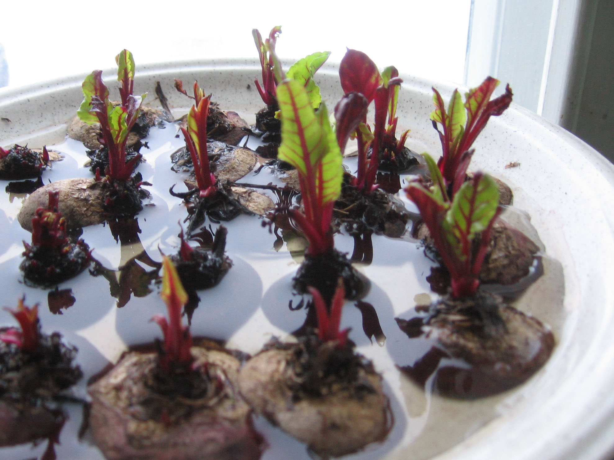 how to grow your own beets