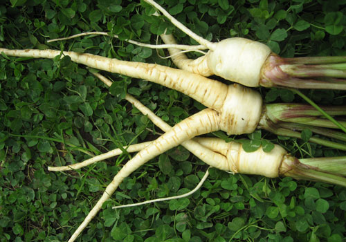 how to grow your own parsnips
