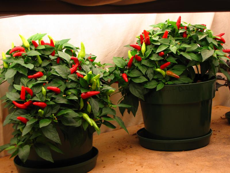 how to grow your own peppers inside