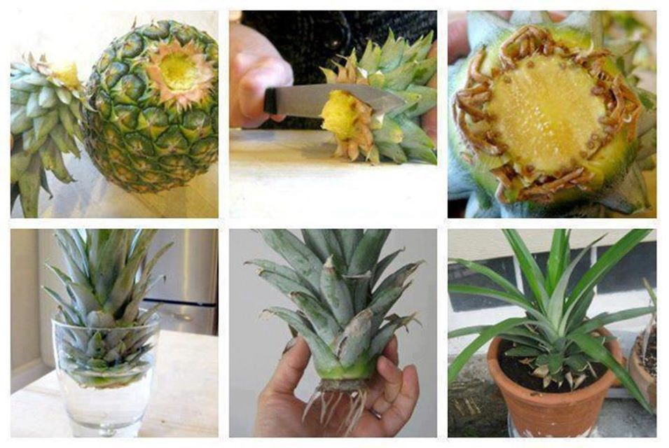 how to grow a pineapple in water