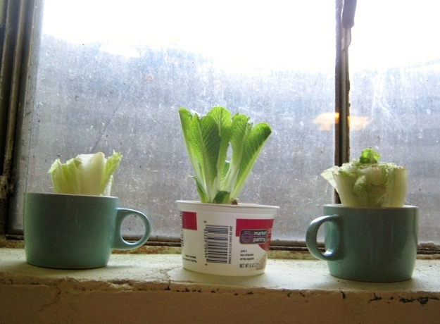 scallions grow back in a glass of water