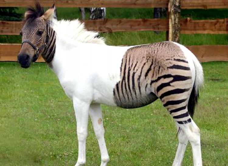 zony zebra and pony hybrid