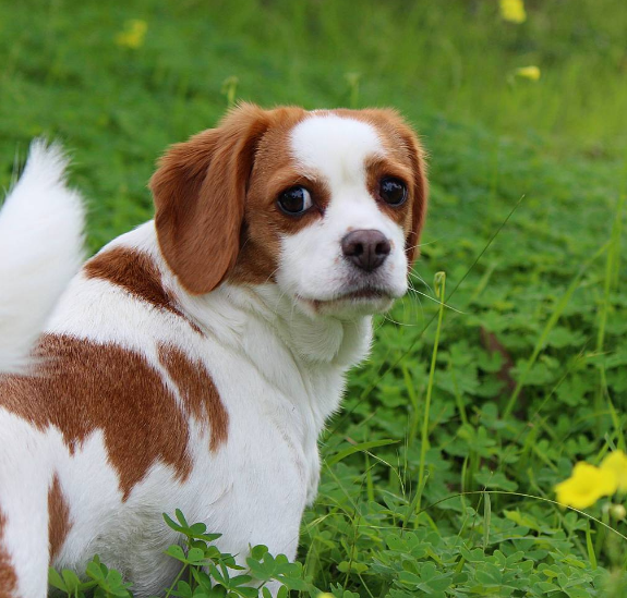 Beaglier - Beagle + Cavalier King Charles Spaniel