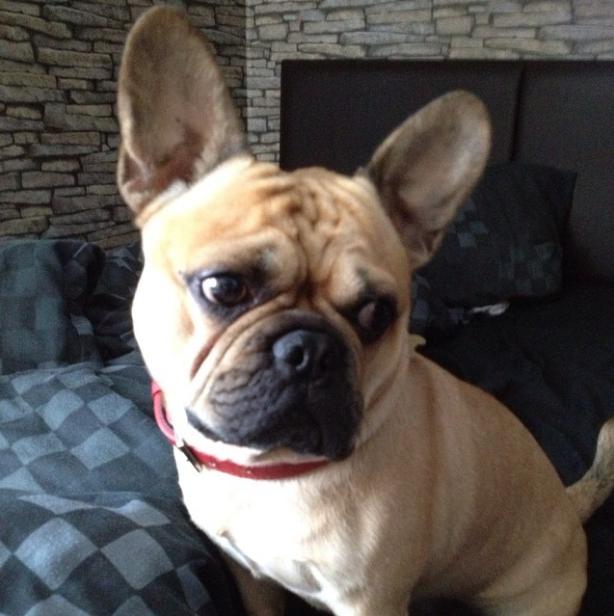 Frug - French Bulldog + Pug