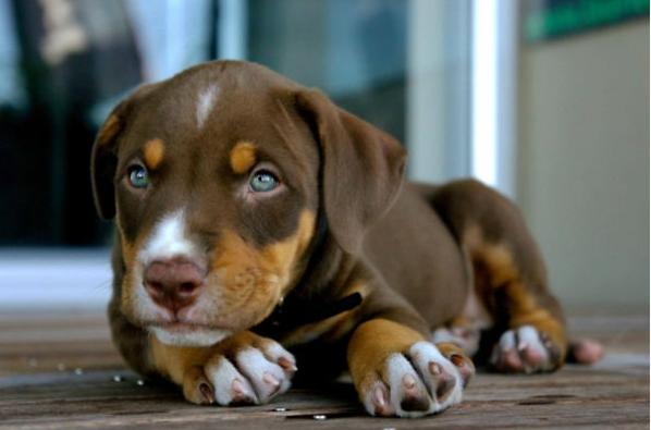 Labrador, Doberman And Boxer