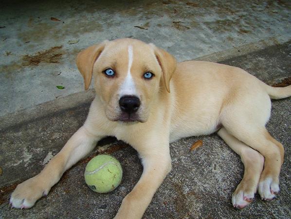 Labsky - Labrador + Husky