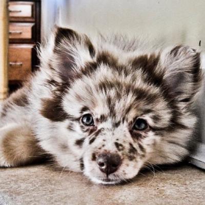 Aussiepom - Mini Australian Shepherd & Pomeranian Mix